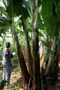 Idjwi Sud - Projet pilote de remplacement des bananeraies (2)